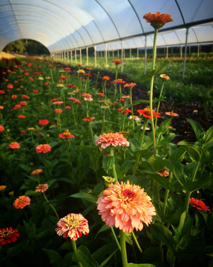 Zinnias photo by Kelly Brown