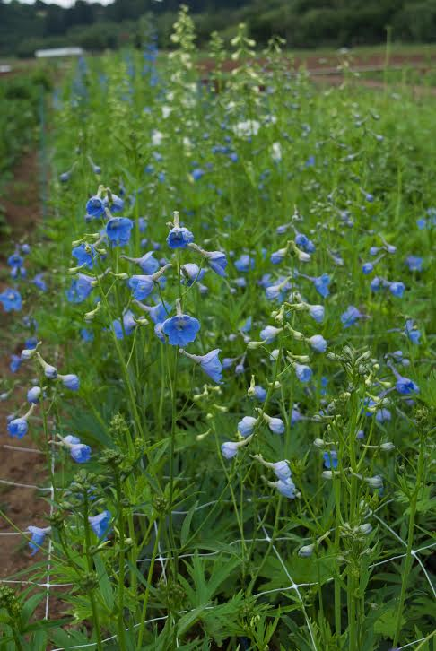 Delphinium photo by Kelly Brown