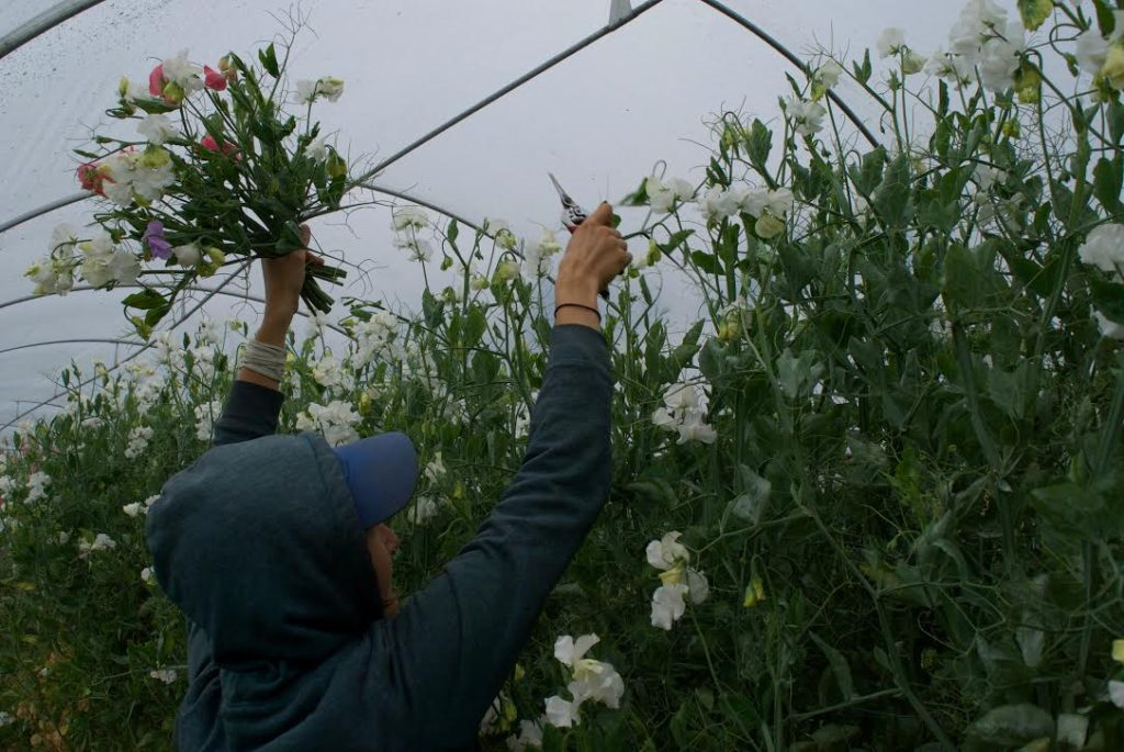 Kelly harvesting sweet peas photo by Lindsey Mizock